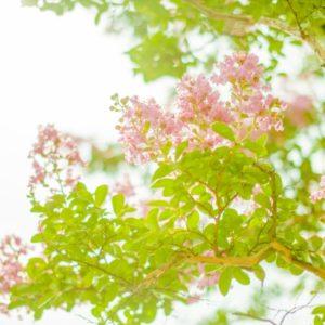 サルスベリの樹木葬