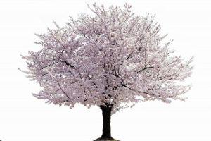 桜葬,桜,樹木葬